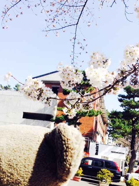 桜とコアチ。(久しぶりの登場)