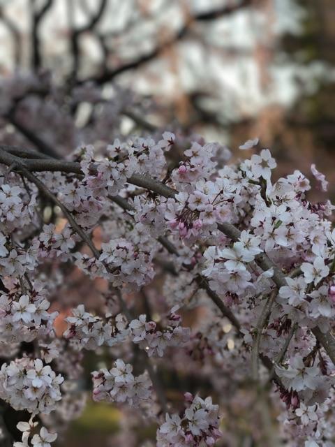 枝垂れ桜、見頃です